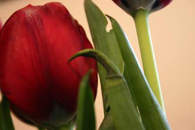 Tulip_copy